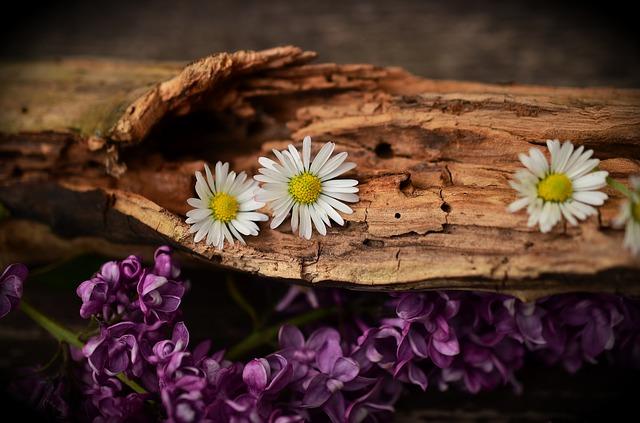 zvětralé dřevo a sedmikrásky